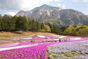 芝桜の丘と武甲山