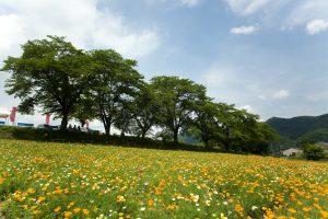 長瀞町・花の里 ハナビシソウ園