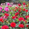 両神山麓花の郷 ダリア園開園の画像