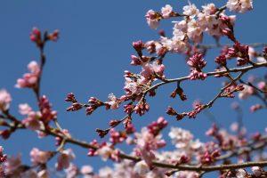 秩父・長瀞 桜の開花