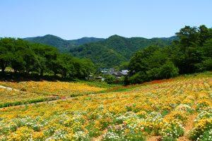 長瀞町・花の里ハナビシソウ園