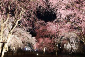 清雲寺しだれ桜ライトアップ